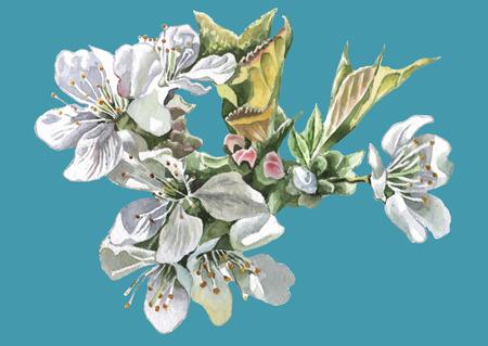 Cherry Blossom. Watercolor. Vector. Hand drawn. Vettoriali