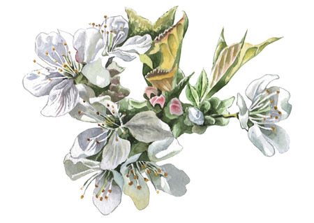 may: Cherry Blossom. Watercolor. Vector. Hand drawn. Illustration