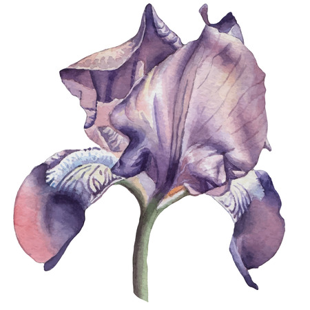 Illustration with watercolor flower. Iris.  Vector. Hand drawn.