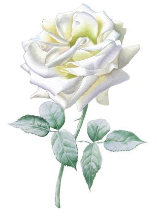 rose blanche: Blanc rose r�aliste. Aquarelle. Vector. Dessin� � la main.
