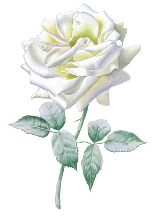 white rose: Realistic white rose. Watercolor.  Vector. Hand drawn. Illustration