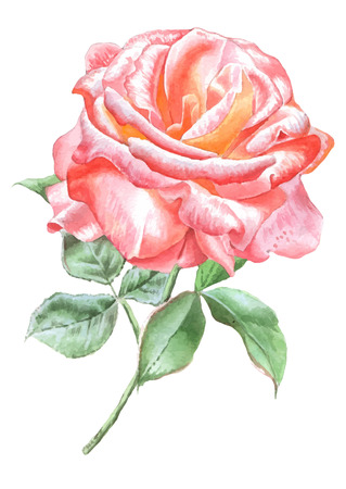 hand drawn rose: Illustration with red rose. Vector. Watercolor. Hand drawn. Illustration