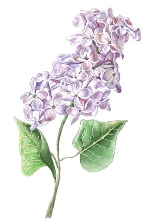in bloom: Lilac flower. Watercolor Hand drawn.