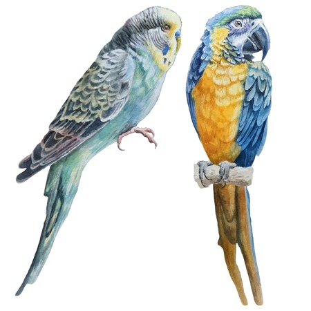 birds: Watercolor birds.  Blue budgerigar and blue parrot macaw. Vector. Hand drawn.
