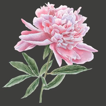 Prachtige roze pioen. Aquarel Hand getrokken.