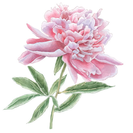 Gorgeous pink peony. Watercolor. Vector. Hand drawn.