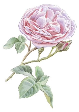 Illustration with pink rose. Watercolor Hand drawn. Illustration