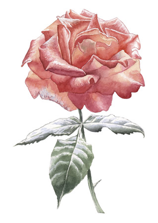 hand drawn rose: Illustration with red rose. Watercolor Hand drawn.