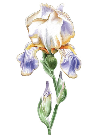 Illustration with watercolor flower. Iris Hand drawn.