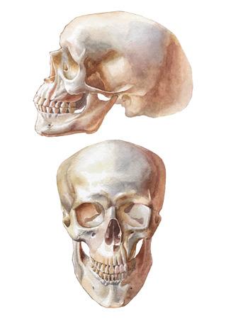 homo sapiens: Illustration with two skulls. Vector. Watercolor. Vector. Hand drawn. Illustration