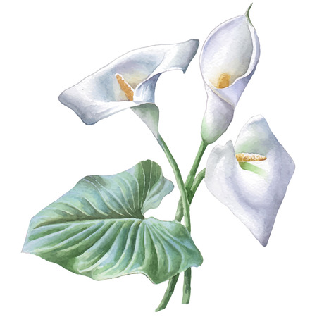 Illustration with calla. Watercolor Hand drawn. Stok Fotoğraf - 44066150