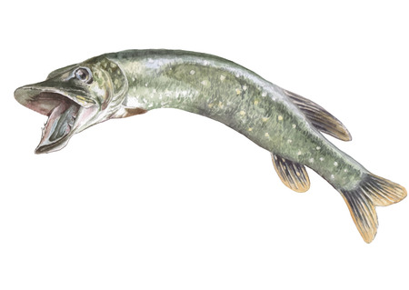 Illustration with realistic pike. Watercolor Hand drawn.