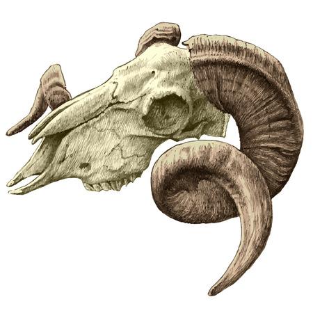 macho cabrio: Ilustraci�n con el cr�neo de cabra. dibujado a mano