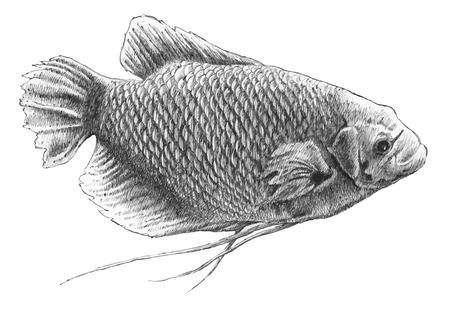 사실적인 물고기 그림. 거대한 버들 붕어과. 손으로 그린.