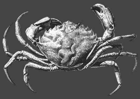 cangrejo: ilustración con un gran cangrejo dibujado a mano sobre un fondo oscuro Vectores