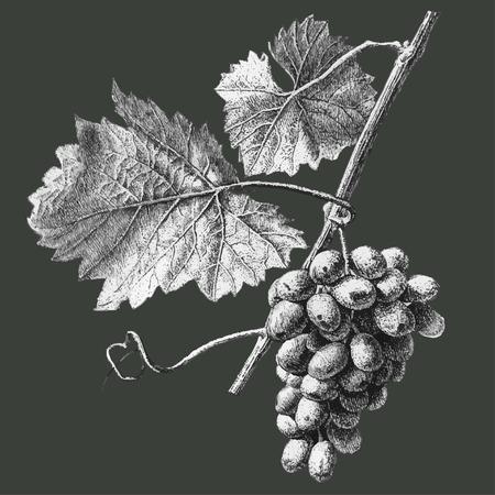 Illustration with grapes and leaves on a dark background