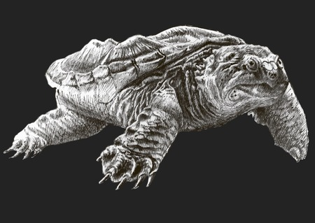 ancient turtles: Common snapping turtle. Hand drawn. Illustration