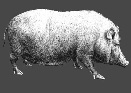 omnivorous: illustration with a large pig. hand drawn. Illustration