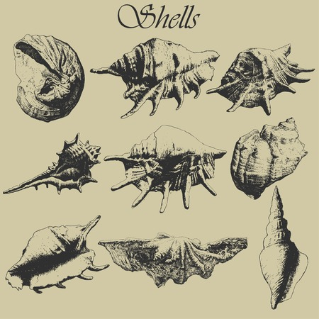 cockle: Set with realistic shells. Hand drawn.