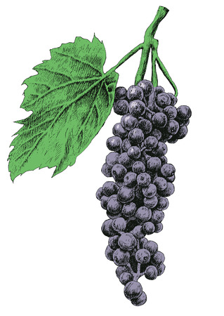 grapes on vine: Illustration with grapes. Vector. Hand drawn. Illustration
