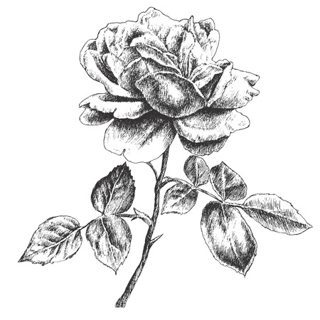 hand drawn rose: Illustration with rose. Vector. Hand drawn.