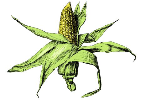 mealie: Colored illustration with corn. Vector. Hand drawn.