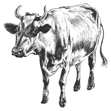 Monochrome illustration with cow. Vector. Hand drawn. Çizim