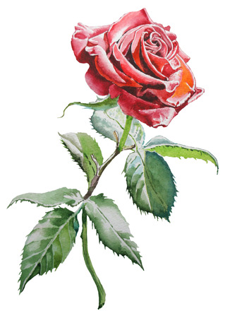 Illustration with  red  rose. Watercolor. Hand drawn. Stock Photo