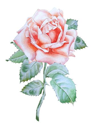 rose: Illustration with realistic rose. Watercolor.  Hand drawn.