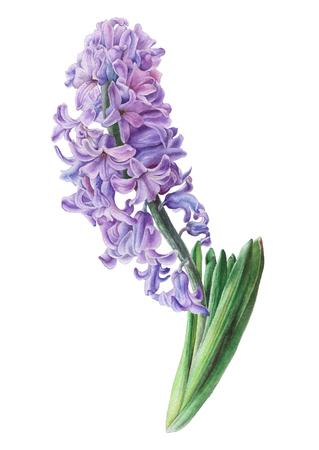 수채화 꽃입니다. 히아신스. 삽화. 손으로 그려.