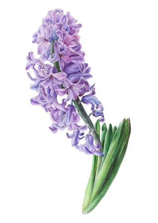 Waterverf bloem. Hyacint. Illustratie. Hand getekend. Stockfoto