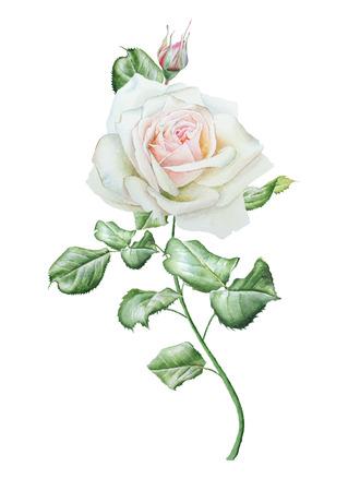 Illustratie met aquarel roos. Hand getekend.
