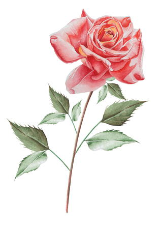 Illustration with watercolor rose. Hand drawn. Stock Illustration - 96548472