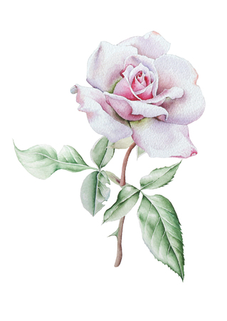 Illustration with watercolor rose. Hand drawn.