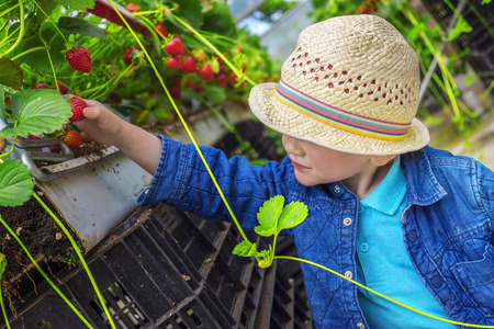 pesticide free: Little child picking strawberries in a greenhouse