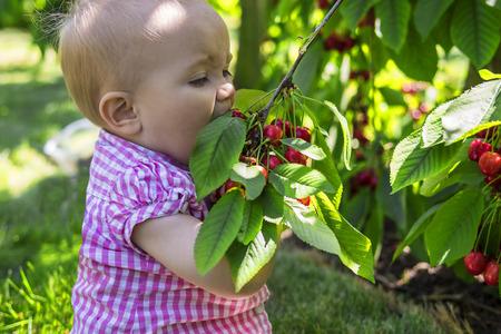 frutas divertidas: Bebé divertido comer cerezas directamente del árbol Foto de archivo