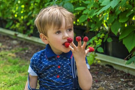 boy beautiful: Beautiful boy picking and eating raspberries Stock Photo