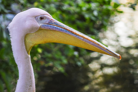 head shot of a beautiful pink pelican