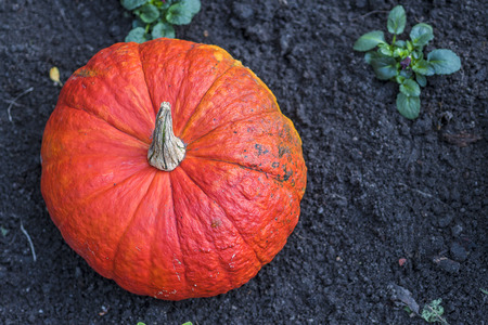 large pumpkin: Large pumpkin in the garden Stock Photo