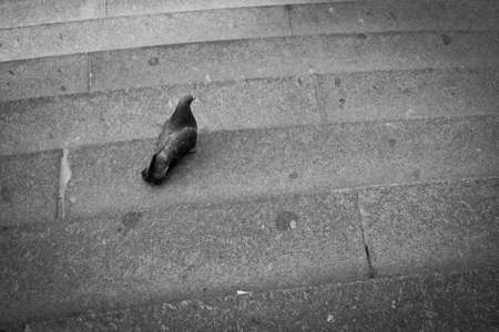 pigeon on old stairs Stock Photo