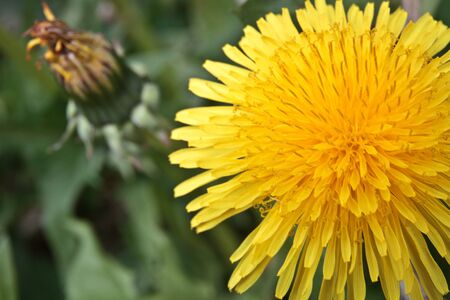 Detail of Common Dandelion with Head in full bloom Stock Photo