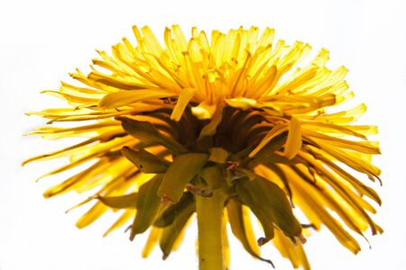 Detail of Common Dandelion with Head in full bloom from bottom view