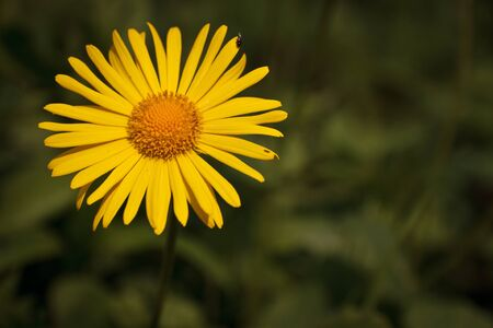 Single flower head of Leopards Bane on green blurred background