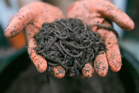 Group of earthworms in hands glove. Stock Photo