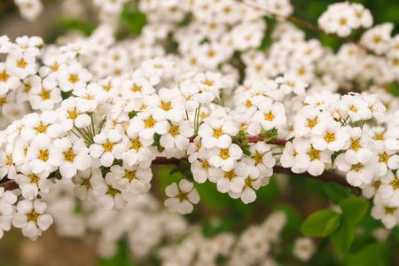 White flowers yellow pollen Beautifully blooming Reklamní fotografie