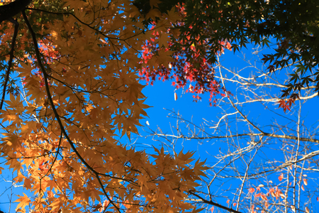 Yellow maple leaves have a beautifully bright sky color as background.