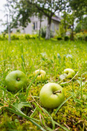 four apples in garden near house Stock Photo - 14631787