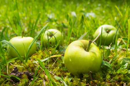 4  apples in grass