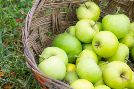 Many green ripe apples in old basket