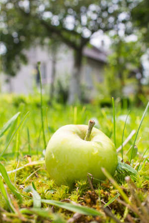 Apple in garden near house photo